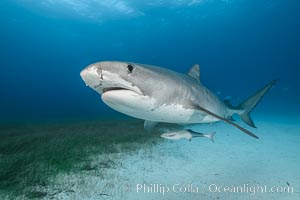Tiger shark. Bahamas, Galeocerdo cuvier, natural history stock photograph, photo id 31897