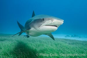 Tiger shark close up view, including nostrils and ampullae of Lorenzini. Bahamas, Galeocerdo cuvier, natural history stock photograph, photo id 31901