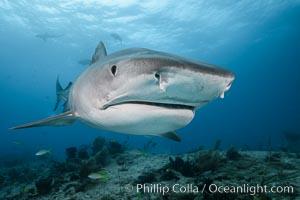 Tiger shark close up view, including nostrils and ampullae of Lorenzini. Bahamas, Galeocerdo cuvier, natural history stock photograph, photo id 31913