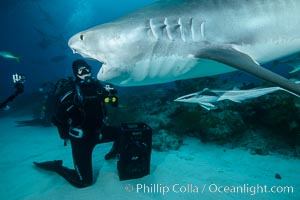 Expert hand feeds multiple tiger sharks in the Bahamas. Bahamas, Galeocerdo cuvier, natural history stock photograph, photo id 31914