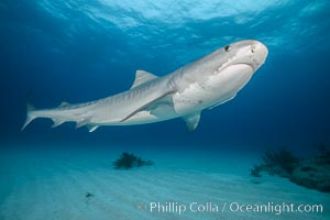 Tiger shark. Bahamas, Galeocerdo cuvier, natural history stock photograph, photo id 31916