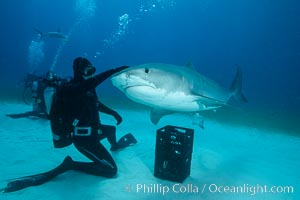 Expert hand feeds multiple tiger sharks in the Bahamas. Bahamas, Galeocerdo cuvier, natural history stock photograph, photo id 31922