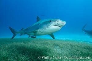 Tiger shark swimming over eel grass. Bahamas, Galeocerdo cuvier, natural history stock photograph, photo id 31926