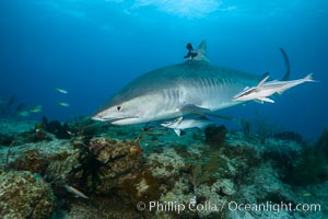 Tiger shark with GoPro mounted on its dorsal fin, Galeocerdo cuvier