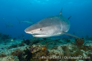 Tiger shark swimming over coral reef. Bahamas, Galeocerdo cuvier, natural history stock photograph, photo id 31934