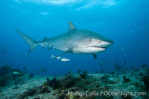 Tiger shark swimming over coral reef. Bahamas, Galeocerdo cuvier, natural history stock photograph, photo id 31936