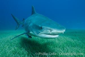 Tiger shark close up view, including nostrils and ampullae of Lorenzini, Galeocerdo cuvier
