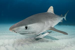 Tiger shark close up view, including nostrils and ampullae of Lorenzini. Bahamas, Galeocerdo cuvier, natural history stock photograph, photo id 31949