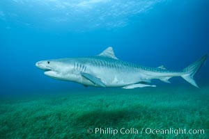Tiger shark swimming over eel grass, Galeocerdo cuvier