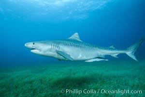 Tiger shark swimming over eel grass, Galeocerdo cuvier