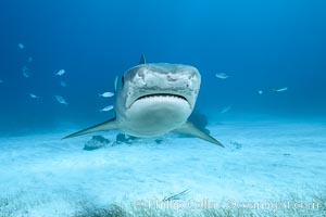 Tiger shark. Bahamas, Galeocerdo cuvier, natural history stock photograph, photo id 31955