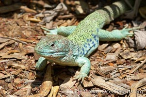 Ocellated lizard., Timon lepidus, natural history stock photograph, photo id 12553