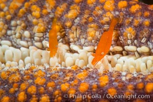 Tiny shrimp living on Starfish, Sea of Cortez, Isla San Diego, Baja California, Mexico