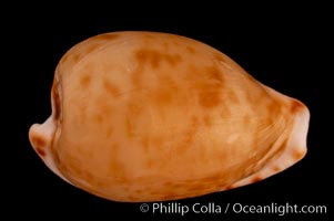 Toothless Cape Cowrie, Cypraea edentula