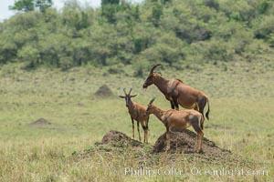 Topi, Damaliscus korrigum, Maasai Mara National Reserve