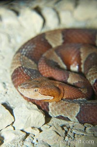 Trans-Pecos copperhead snake.  The Trans-Pecos copperhead is a pit viper found in the Chihuahuan desert of west Texas.  It is found near streams and rivers, wooded areas, logs and woodpiles, Agkistrodon contortrix pictigaster