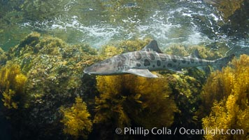 A leopard shark, swimming through the shallows waters of a California reef, underwater, Cystoseira osmundacea marine algae growing on rocky reef, Triakis semifasciata, Cystoseira osmundacea, San Clemente Island