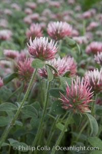 Rose clover blooms in spring. Carlsbad, California, USA, Trifolium hirtum, natural history stock photograph, photo id 11452