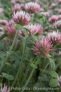 Rose clover blooms in spring. Carlsbad, California, USA, Trifolium hirtum, natural history stock photograph, photo id 11455