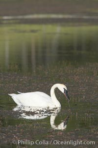 Trumpeter swan on Floating Island Lake, Cygnus buccinator, Yellowstone National Park, Wyoming