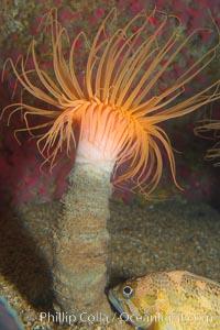 Tube anemone, Pachycerianthus fimbriatus