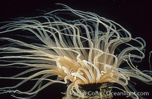 Tube anemone, Pachycerianthus fimbriatus, La Jolla, California