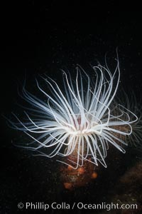 Tube anemone, San Miguel Island, Channel Islands National Marine Sanctuary, Pachycerianthus fimbriatus