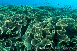 Spectacular display of pristine cabbage coral, Turbinaria reniformis, in Nigali Pass on Gao Island, Fiji. Nigali Passage, Gau Island, Lomaiviti Archipelago, Fiji, Turbinaria reniformis, natural history stock photograph, photo id 31314