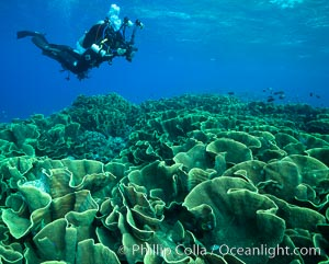 Spectacular display of pristine cabbage coral, Turbinaria reniformis, in Nigali Pass on Gao Island, Fiji, Turbinaria reniformis, Cabbage Coral, Nigali Passage, Gau Island, Lomaiviti Archipelago