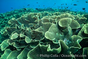 Spectacular display of pristine cabbage coral, Turbinaria reniformis, in Nigali Pass on Gao Island, Fiji. Nigali Passage, Gau Island, Lomaiviti Archipelago, Fiji, Turbinaria reniformis, natural history stock photograph, photo id 31735