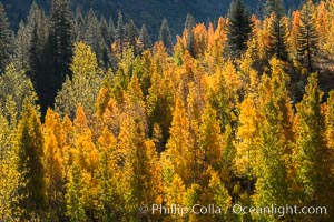 Aspens show fall colors in Mineral King Valley, part of Sequoia National Park in the southern Sierra Nevada, California. Mineral King, Sequoia National Park, California, USA, natural history stock photograph, photo id 32257