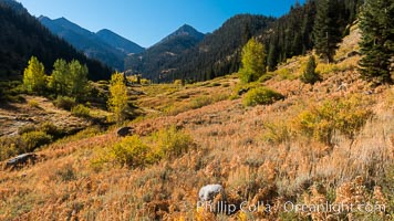Aspens show fall colors in Mineral King Valley, part of Sequoia National Park in the southern Sierra Nevada, California. Mineral King, Sequoia National Park, California, USA, natural history stock photograph, photo id 32260