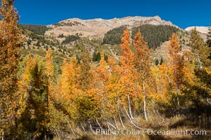 Aspens show fall colors in Mineral King Valley, part of Sequoia National Park in the southern Sierra Nevada, California. Mineral King, Sequoia National Park, California, USA, natural history stock photograph, photo id 32268