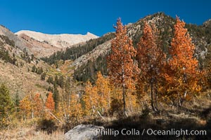 Aspens show fall colors in Mineral King Valley, part of Sequoia National Park in the southern Sierra Nevada, California. Mineral King, Sequoia National Park, California, USA, natural history stock photograph, photo id 32270
