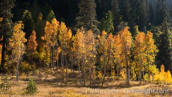 Aspens show fall colors in Mineral King Valley, part of Sequoia National Park in the southern Sierra Nevada, California. Mineral King, Sequoia National Park, California, USA, natural history stock photograph, photo id 32272