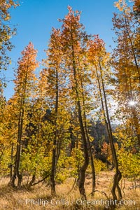 Aspens show fall colors in Mineral King Valley, part of Sequoia National Park in the southern Sierra Nevada, California. Mineral King, Sequoia National Park, California, USA, natural history stock photograph, photo id 32273