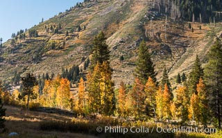 Aspens show fall colors in Mineral King Valley, part of Sequoia National Park in the southern Sierra Nevada, California. Mineral King, Sequoia National Park, California, USA, natural history stock photograph, photo id 32275