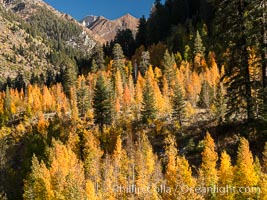 Aspens show fall colors in Mineral King Valley, part of Sequoia National Park in the southern Sierra Nevada, California. Mineral King, Sequoia National Park, California, USA, natural history stock photograph, photo id 32276