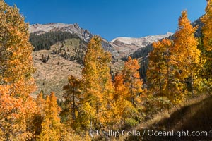 Aspens show fall colors in Mineral King Valley, part of Sequoia National Park in the southern Sierra Nevada, California. Mineral King, Sequoia National Park, California, USA, natural history stock photograph, photo id 32298