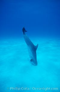 Atlantic bottlenose dolphin, foraging in sand, Tursiops truncatus