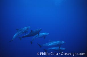 Pacific  bottlenose dolphin., Tursiops truncatus, natural history stock photograph, photo id 04912