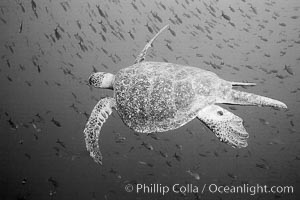 Sea Turtle, underwater, black and white, Wolf Island