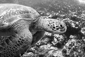 Turtle, Black and white / grainy, Bartolome Island