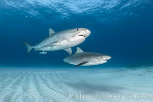 Two tiger sharks. Bahamas, Galeocerdo cuvier, natural history stock photograph, photo id 31875