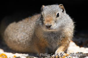 Uinta ground squirrels are borrowers. In the winter these squirrels hibernate, and in the summer they aestivate (become dormant for the summer), Spermophilus armatus, Yellowstone National Park, Wyoming