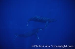 Humpback whales, Megaptera novaeangliae, Maui