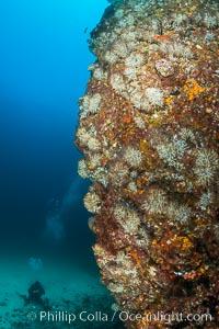 Underwater Reef with Invertebrates, Gorgonians, Coral Polyps, Sea of Cortez, Baja California, Mikes Reef, Mexico