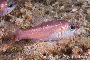 Unidentified cardinalfish, Sea of Cortez, Isla Cayo, Baja California, Mexico