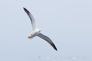 Unidentified gull, Hannah Point, Livingston Island