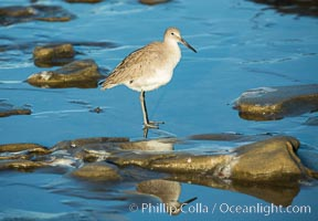 Willet. La Jolla, California, USA, Catoptrophurus semipalmatus, natural history stock photograph, photo id 30308